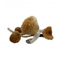 Malabar Magic Mushroom